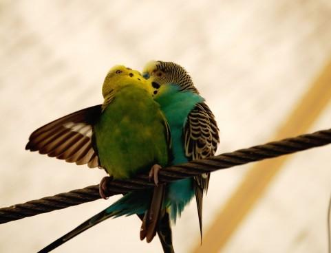 キスをしている小鳥