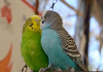 小鳥がキスしている風景